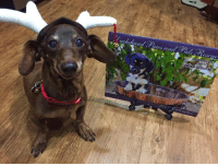 Memes, Calendar, and Santa: Dachshund and Santa's reindeer Claire wants everyone to know that there are 5 more calendars available. 😁 If you missed out the first time around and would like to order, they are printed and ready to ship. Proceeds go to supplies and medical care for dogs in our rescue. The calendar features past and present doxies from our rescue with some adoption photos on the back :)  If you would like to order click here: http://www.yearbox.com/calendarsforgood/dachshund-paws-pals-rescue-2017-calendar/