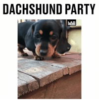 Memes, Party, and Bible: DACHSHUND PARTY  LAD  BIBLE How do I get myself an invite to a dachshund party? 😍 @onatahdachshunds