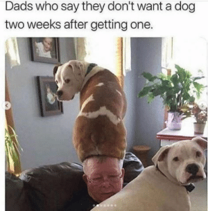 Dogs make everything better. It's a fact. #Dogs #Animals #Memes #PetAdoption: Dads who say they don't want a dog  two weeks after getting one. Dogs make everything better. It's a fact. #Dogs #Animals #Memes #PetAdoption
