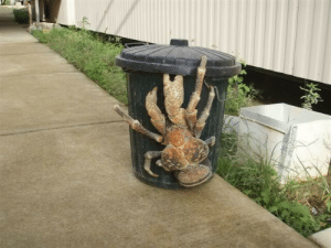 daily-biology:  Coconut crabs are giant hermit crabs that can grow to be a meter long. Unlike other crabs, they cannot swim and will drown if put in water for extended periods. Also, unlike other hermit crabs, they don't wear seashells.: daily-biology:  Coconut crabs are giant hermit crabs that can grow to be a meter long. Unlike other crabs, they cannot swim and will drown if put in water for extended periods. Also, unlike other hermit crabs, they don't wear seashells.