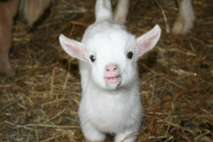 daily-biology:  Happy Chinese new year! Goats start giving milk at about 2 years old and will produce 12 to 16 pounds of milk a day, or 11/2 to 2 gallons, about 10 percent of what cows produce.: daily-biology:  Happy Chinese new year! Goats start giving milk at about 2 years old and will produce 12 to 16 pounds of milk a day, or 11/2 to 2 gallons, about 10 percent of what cows produce.