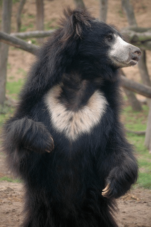 daily-biology:  When attacking humans, sloth bears typically use their sickle-like claws to rip off their victims' faces.: daily-biology:  When attacking humans, sloth bears typically use their sickle-like claws to rip off their victims' faces.