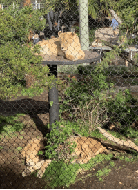 Tumblr, Blog, and San Diego: daily-blep:  A mid-day Lioness blep at the San Diego Zoo.
