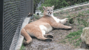daily-blep:  Big scary cougar blep!: daily-blep:  Big scary cougar blep!