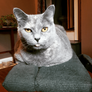 daily-blep:  Zeppelin is queen of the blep.: daily-blep:  Zeppelin is queen of the blep.