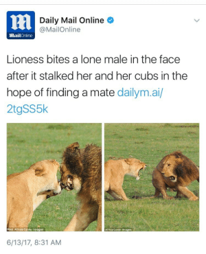 paddysnuffles: cassar91:  weavemama:  lioness you're doing amazing sweetie  He knew he messed up in that second image  to put some extra context, lions kill the cubs of competing lions in order to get their mates. She was going full on rage mode for a myriad of good reasons. : Daily Mail Online  @MailOnline  MailOnline  Lioness bites a lone male in the face  after it stalked her and her cubs in the  hope of finding a mate dailym.ai/  2tgSS5k  Real Africa Cover Images  Africa Cover Images  6/13/17, 8:31 AM paddysnuffles: cassar91:  weavemama:  lioness you're doing amazing sweetie  He knew he messed up in that second image  to put some extra context, lions kill the cubs of competing lions in order to get their mates. She was going full on rage mode for a myriad of good reasons.