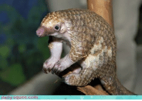 baby pangolin: daily squee.com