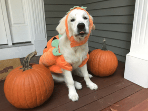 dailyblep:  👻 Snowy practicing her spooky Halloween blop! 🎃: dailyblep:  👻 Snowy practicing her spooky Halloween blop! 🎃