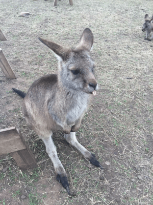 dailyblep:  Happy little roo blup: dailyblep:  Happy little roo blup