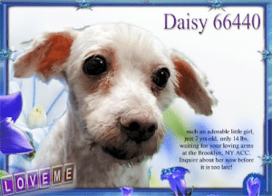Animals, Desperate, and Dogs: Daisy 66440  ...such an adorable little girl,  just 7 yrs old, only 14 lbs,  waiting for your loving arms  at the Brooklyn, NY ACC  Inquire about her now before  it is too late!  LOVEME **FOSTER or ADOPTER NEEDED ASAP** Daisy 66440 ... such an adorable little girl, just 7 yrs old, only 14 lbs, waiting for your loving arms at the Brooklyn, NY ACC. Inquire about her now before it is too late!  ✔Pledge✔Tag✔Share✔FOSTER✔ADOPT✔Save a life!  Daisy 66440  Small Mixed Breed Sex female Age 7 yrs (approx.) - 14 lbs  My health has been checked.  My vaccinations are up to date. My worming is up to date.  I have been micro-chipped.   I am waiting for you at the Brooklyn, NY  ACC. Please, Please, Please, save me!  Found Location Miller Avenue BROOKLYN, 11207 Date Found 6/18/2019  **************************************** *** TO FOSTER OR ADOPT ***   If you would like to adopt a NYC ACC dog, and can get to the shelter in person to complete the adoption process, you can contact the shelter directly. We have provided the Brooklyn, Staten Island and Manhattan information below. Adoption hours at these facilities is Noon – 8:00 p.m. (6:30 on weekends)  If you CANNOT get to the shelter in person and you want to FOSTER OR ADOPT a NYC ACC Dog, you can PRIVATE MESSAGE our Must Love Dogs - Saving NYC Dogs page for assistance. PLEASE NOTE: You MUST live in NY, NJ, PA, CT, RI, DE, MD, MA, NH, VT, ME or Northern VA. You will need to fill out applications with a New Hope Rescue Partner to foster or adopt a NYC ACC dog. Transport is available if you live within the prescribed range of states.  Shelter contact information: Phone number (212) 788-4000 Email adopt@nycacc.org  Shelter Addresses: Brooklyn Shelter: 2336 Linden Boulevard Brooklyn, NY 11208 Manhattan Shelter: 326 East 110 St. New York, NY 10029 Staten Island Shelter: 3139 Veterans Road West Staten Island, NY 10309 **************************************  NOTE:  WE HAVE NO OTHER INFORMATION THAN WHAT IS LISTED WITH THIS FLYER.  ************************************** RE: ACC site Just because a dog is not on the ACC site does NOT necessarily mean safe. There are many reasons for this like a hold or an eval has not been conducted yet or the dog is rescue-only... the list goes on... Please, do share & apply to foster/adopt these pups as well until their thread is updated with their most current status. TY! ****************************************** About Must Love Dogs - Saving NYC Dogs: We are a group of advocates (NOT a shelter NOR a rescue group) dedicated to finding loving homes for NYC dogs in desperate need. ALL the dogs on our site need Rescue, Fosters, or Adopters & that ASAP as they are in NYC high-kill shelters. If you cannot foster or adopt, please share them far & wide. Thank you for caring!! <3 ****************************************** RESCUES: * Indicates New Hope Rescue partner is accepting applications for fosters and/or adopters. http://www.nycacc.org/get-involved/new-hope/nhpartners ****************************************** https://www.nycacc.org/adopt/daisy-66440 ++++ http://nycaccpets.shelterbuddy.com/animal/animalDetails.asp?s=adoption&searchTypeId=4&animalType=3%2C16&datelostfoundmonth=6&datelostfoundday=19&datelostfoundyear=2019&tpage=8&find-submitbtn=Find+Animals&pagesize=16&task=view&searchType=4&animalid=99864 ++++ https://nycaccpets.shelterbuddy.com/animal/animalDetails.asp?task=search&advanced=1&rspca_id=66440&animalType=1%2C2%2C15%2C3%2C16%2C15%2C16%2C86%2C79&datelostfoundmonth=6&datelostfoundday=1&datelostfoundyear=2019&find-submitbtn=Find+Animals&tpage=1&searchType=2&animalid=99864 ++++ Beamer Maximillian Carolin Hocker Caro Hocker