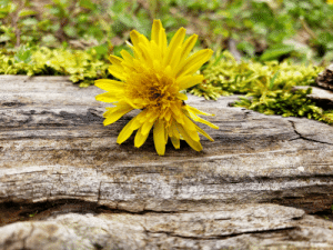 Daisy on some railroad ties picture: Daisy on some railroad ties picture