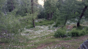 Daisy season in Changla Gali, Pakistan (sorry about the picture quality, my phone isn't the best): Daisy season in Changla Gali, Pakistan (sorry about the picture quality, my phone isn't the best)