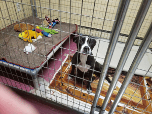 Family, Memes, and Run: Daisy who was trapped today in Fitzwilliam NH after at least 60 days on the run.  Daisy is all cleaned up and now is in safe hands with Lost My Way Animal Shelter.  We will keep everyone updated on her recovery and when she becomes available for adoption if her family is not found.  Rest well tonight, Daisy Girl!