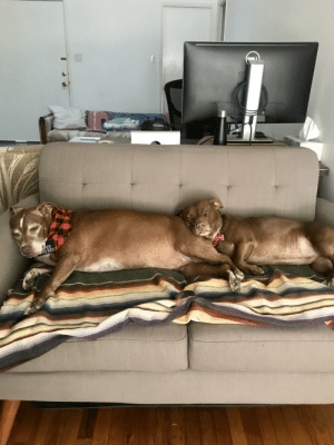These Pitbulls can't be trusted...: DALL  VOLOR  PER  HEWER These Pitbulls can't be trusted...
