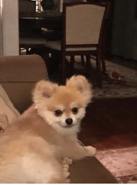 Memes, Lost, and Dallas: DALLAS, NC (GASTON CO.)-- LOST DOG  7/14: Missing Pomeranian dog! Last seen in Dallas North Carolina. Please contact. Goes by the name of Oliver rpschae@msn.com. 7049655351