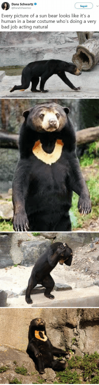 <p>Este oso parece un humano en traje de oso que actua realmente mal.</p>: Dana Schwartz  @DanaSchwartzzz  Seguir  Every picture of a sun bear looks like it's a  human in a bear costume who's doing a very  bad job acting natural <p>Este oso parece un humano en traje de oso que actua realmente mal.</p>