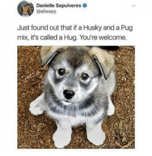 A little hug: Danielle Sepulveres  @ellesep  Just found out that if a Husky and a Pug  mix, it's called a Hug. You're welcome. A little hug