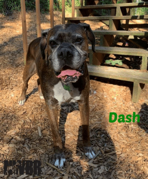 Being Alone, Dogs, and Energy: Dash  NER Dash 8 yo male Frosty Brindle 82 pounds Dog & Kid Friendly Leash Trained Hearing Diminished fostered in Woodinville, WA __________________________________________________________________________________________________________________  Have no fear for Dash is near.  Dash is a sweet old soul looking for his forever after.  He lost the only home he knew due to circumstances beyond his control.  He is a big ole Love <3.  He likes to know where his people are at all times, but he doesn't need to be in your space.  He is hard of hearing, but is doing well with hand and body signals.  He does not like to be crated, but he does just fine being left out as long as there is another dog to keep him company. He plays well with other dogs of all sizes and really must have another dog of similar energy in his forever home. He can not be left alone for long periods of time, he will have an accident, you know he just can't hold it that long anymore. He let's you know its meal time loves his food. Loves car rides, with the windows down so he can hang out. He does well with kids and would love older kids because they are easier to cuddle.  Dash is the best dog, is very outgoing for his age, and he is a big baby full of love deserving to share with a forever family.  Dash would do best with a family or person that is home more often than not, so he has access to the yard for potty breaks and to lessen the anxiety he has been experiencing by losing the only home he ever knew.  Interested in adopting Dash? Fill out the application here: https://www.nwboxerrescue.org/adoption-form