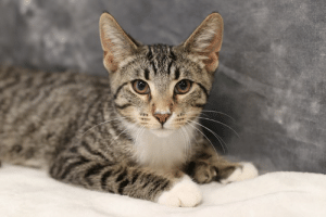 Memes, Animal, and Date: Date Found: 7/3/19 Type of Animal: Cat Name at HSoMC: Mukami Color/Description: Brown Tabby/White DSH Polydactyl Estimated Age: 6 Months Old Male/Female (spayed/neutered): Male Microchipped/Collar/Identification: None Area Found: Rockwell Drive, Midland To reclaim or with any info: 989-835-1877 or go to 4371 E. Ashman Midland, MI M-F: 12-7 Sat: 11-4