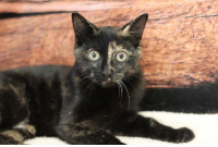 """Memes, Lost, and Animal: Date Lost/Found: FOUND 9/12/18 Name of Animal: """"Salsa"""" and """"Chips"""" named at shelter Breed of Animal: Domestic Shorthair Color/Description: Salsa - Torti   Chips-Black Age: 4 months Male/Female (spayed/neutered): Female and Male Microchipped/Collar/Identification: NA Area Lost From (specific): Found on Elizabeth St. Contact Information for Owner/Finder: Call HSOMC 989-835-1877"""