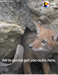 Fire, Gif, and Coyote: David Bradley  dodo  We're gonna get you outta here. Rescuing a coyote trapped in collapsed den. (Holly & Loosid - Fire Flower would probably fit this gif.)