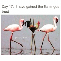 Chicken under cover (@fresh_rebuttals): Day 17: I have gained the flamingos  trust  @Fresh rebuttals Chicken under cover (@fresh_rebuttals)