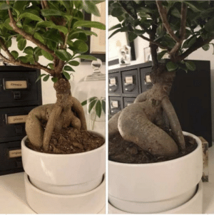 Day 2 of quarantine: this bonsai better chill tf out: Day 2 of quarantine: this bonsai better chill tf out