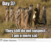 Llama Meme: Day 37:  They still donotsuspect  llama mere cat.  Uber Humor  There's always money in the banana stand