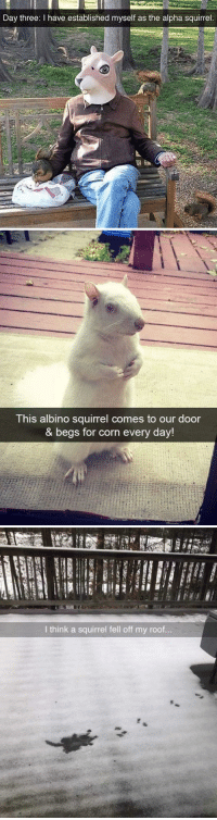 animalsnaps:Squirrel snaps: Day three: I have established myself as the alpha squirrel   This albino squirrel comes to our door  & begs for corn every day!   I think a squirrel fell off my roof... animalsnaps:Squirrel snaps
