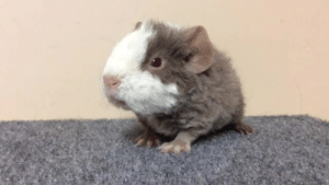 daysofourpigs:  mingesu:  cherishedcavies:  Nine day old Teddy Guinea Pig, wheeking up a storm. 😀  Turn up your volume for this little guy. He would hate for,you to miss his tuneful wheek. Lol.  Hey no offense but I would DIE for him   WHEEEEEEEEKWHEEK : daysofourpigs:  mingesu:  cherishedcavies:  Nine day old Teddy Guinea Pig, wheeking up a storm. 😀  Turn up your volume for this little guy. He would hate for,you to miss his tuneful wheek. Lol.  Hey no offense but I would DIE for him   WHEEEEEEEEKWHEEK