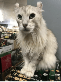 Beautiful, Omg, and Tumblr: DEAN  ful ,-DEAN MART omg-humor:Found this beautiful guy in a comic shop. His name is Bob. Does anyone know the breed?