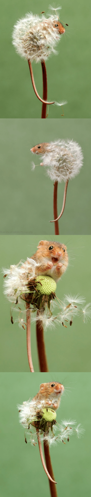 inkwingart:  salemwitchtrials: Harvest mouse on a dandelion by Dean Mason @spaceshipkat look at this TINY FRIEND: Dean Mason Wildle Photography inkwingart:  salemwitchtrials: Harvest mouse on a dandelion by Dean Mason @spaceshipkat look at this TINY FRIEND