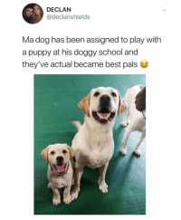 School, Best, and Puppy: DECLAN  @declanshields  Ma dog has been assigned to play with  a puppy at his doggy school and  they've actual became best pals (@declanshields_)