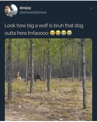 Bruh, Cats, and Dank: deejay  @whoadiebrees  Look how big a wolf is bruh that dog  outta here Imfaoooo That nigga master prestige @larnite • ➫➫➫ Follow @Staggering for more funny posts daily! • (Ignore: memes dank funny cats insta love me goals happy ligmaballs love twitter)