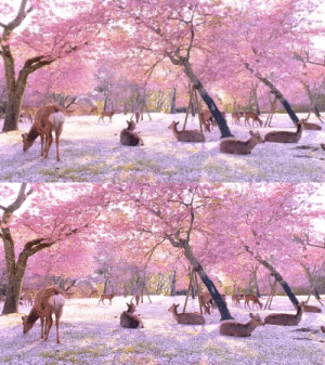 Deer and cherry blossoms in Nara Park, Japan(via): Deer and cherry blossoms in Nara Park, Japan(via)