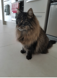 Delicious Chilli after his groom today!  This man!!! #mainecoon love ❤❤❤: Delicious Chilli after his groom today!  This man!!! #mainecoon love ❤❤❤