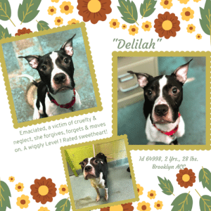 "Beautiful, Dogs, and Energy: ""Delilah""  neglect, she forgives, forgets & moves  on. A wiggly Level 1 Rated sweetheart!  Emaciated, a victim of cruelty&  Id 64998, 2 yrs., 28 lbs.  Brooklyn ACC INTAKE DATE – 6/5/2019   She's only 28 lbs, a victim of cruelty and neglect.  She arrived at the shelter, emaciated, reeking of urine, her poor coat covered in an oily substance and with very long nails.  Of course, given her condition, the poor thing had a ravenous appetite.  And yet still she wagged her tail, was sweet and curious, and begging for love.  She is so brave.  And nothing but nothing stopped DELILAH from being beautiful, because you couldn't spend even a minute with her before you fall in love with this pint sized peanut who still believes that dreams can come true and that there is such a thing as ""Happy Ever After.""  She dreams of that for herself, and she dreams of a family who will coddle and pamper and adore her, and to them she will give her generous heart and all her kisses.  We are head over heels for this little sprite, and all we want is for her to leave the shelter ASAP with a wonderful, deserving family.  She is a slice of perfection – and she proved it when she walked away from her shelter behavior assessment with a Coveted LEVEL 1 Rating – the very best you can get.  So please, won't you take her home and give her a cozy bed and all the love her gentle heart can hold?  Message our page or email us at  MustLoveDogsNYC@gmail.com for assistance fostering or adopting precious Delilah.    DELILAH, ID# 64998, 2 yrs old, 28 lbs, Unaltered Female Brooklyn ACC, Medium Mixed Breed, Black / White   SURRENDER REASON:  Found Stray  Shelter Assessment Rating: LEVEL 1 Medical Behavior Rating: Green  INTAKE PROFILE - BASIC INFORMATION: Delilah is a black and white mmb. She came in as a stray. She was friendly towards all the staff.   INTAKE NOTES – DATE OF INTAKE, 06-05-2019: Upon intake Delilah was loose body and wagging her tail. She was treat motivated. She scanned positive for a microchip and allowed all handling.   BEHAVIOR NOTES  Means of surrender (length of time in previous home): Stray, no known history  SAFER ASSESSMENT:  Summary: Leash Walking Strength and pulling: Mild pulling Reactivity to humans: None Reactivity to dogs: None Leash walking comments:  Sociability Loose in room (15-20 seconds): Soft and wiggly body, tail neutral/low, stays near handlers, jumps up softly soliciting attention, readily accepts treats softly, some tail wags, approaches handlers readily, accepts all contact Call over: Approaches readily, soft and loose Sociability comments:   Handling  Soft handling: Soft body, tail low, ears back, mouth closed, leans into and accepts all contact  Exuberant handling: Soft body, tail low, ears back, mouth closed, leans into and accepts all contact  Handling comments:  Arousal Jog: Engages in play with handler, soft and loose; Jumps up onto handler, softly, recovers immediately on her own Arousal comments:   Knock Knock Comments: No response to knock; Approaches assistant, soft and loose  Toy Toy comments: Grips and relinquishes  PLAYGROUP NOTES - DOG TO DOG SUMMARIES:  Delilah was surrender as a stray so her past behavior with other dogs is unknown.  6/7: When off leash at the Care Centers, Delilah briefly greets the novel male dog with soft posture. She spends the rest of her session seeking attention from the handlers.   6/9:Delilah greets a novel female with a soft posture. She exchanges a few sniffs then wanders the yard occasionally checking back in a few more times with the other dog.   INTAKE BEHAVIOR: Date of intake: 5-Jun-2019 Summary: Loose body, tail wagging, readily accepted treats; Allowed all handling  MEDICAL BEHAVIOR: Date of initial: 5-Jun-2019 Summary: Tail wagging, curious; Allowed all handling  ENERGY LEVEL: Delilah has been observed to exhibit a medium level of energy during her interactions in the care center.   BEHAVIOR DETERMINATION: Level 1 Behavior Asilomar H - Healthy  MEDICAL EXAM NOTES   5-Jun-2019 Blood Work Interpretation.  Mild hypochromic anemia, alt 158, otherwise blood wnl.  5-Jun-2019  DVM Intake Exam.  Estimated age: 4 yrs., Microchip noted on Intake? Y  Microchip Number (If Applicable):981020019937091.  History:  stray.  Subjective: emaciated, reeks of urine. coat covered in oily substance.  ravenous appetite. very long nails. Observed Behavior -alert, wags tail, curious. begs for food readily.  Evidence of Cruelty seen -yes.  Evidence of Trauma seen -no.  Objective:  P =60, R =wnl, BCS 1/9.  EENT: Eyes clear, ears clean, no nasal or ocular discharge noted.  Oral Exam: moderate tartar stains.  PLN: No enlargements noted.  H/L: NSR, NMA, CRT < 2, Lungs clear, eupnic.  ABD: Non painful, no masses palpated.  U/G:female no spay scar seen. mammary development indicating recent litter. not lactating.  MSI: Ambulatory x 4, skin free of parasites, no masses noted, healthy hair coat.  CNS: Mentation appropriate - no signs of neurologic abnormalities.  Assessment: emaciated.  Prognosis: good.  Plan: small meals qid, cbc/chem/t4 SURGERY:  Temporary waiver due to bcs   *** TO FOSTER OR ADOPT ***    If you would like to adopt a NYC ACC dog, and can get to the shelter in person to complete the adoption process, you can contact the shelter directly. We have provided the Brooklyn, Staten Island and Manhattan information below. Adoption hours at these facilities is Noon – 8:00 p.m. (6:30 on weekends)  If you CANNOT get to the shelter in person and you want to FOSTER OR ADOPT a NYC ACC Dog, you can PRIVATE MESSAGE our Must Love Dogs page for assistance. PLEASE NOTE: You MUST live in NY, NJ, PA, CT, RI, DE, MD, MA, NH, VT, ME or Northern VA. You will need to fill out applications with a New Hope Rescue Partner to foster or adopt a NYC ACC dog. Transport is available if you live within the prescribed range of states.  Shelter contact information: Phone number (212) 788-4000 Email adopt@nycacc.org  Shelter Addresses: Brooklyn Shelter: 2336 Linden Boulevard Brooklyn, NY 11208 Manhattan Shelter: 326 East 110 St. New York, NY 10029 Staten Island Shelter: 3139 Veterans Road West Staten Island, NY 10309  *** NEW NYC ACC RATING SYSTEM ***  Level 1 Dogs with Level 1 determinations are suitable for the majority of homes. These dogs are not displaying concerning behaviors in shelter, and the owner surrender profile (where available) is positive.    Level 2  Dogs with Level 2 determinations will be suitable for adopters with some previous dog experience. They will have displayed behavior in the shelter (or have owner reported behavior) that requires some training, or is simply not suitable for an adopter with minimal experience.    Level 3 Dogs with Level 3 determinations will need to go to homes with experienced adopters, and the ACC strongly suggest that the adopter have prior experience with the challenges described and/or an understanding of the challenge and how to manage it safely in a home environment. In many cases, a trainer will be needed to manage and work on the behaviors safely in a home environment."