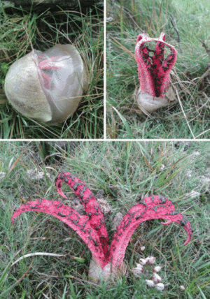 Devil, Fingers, and Fungus: Devils Fingers Fungus.