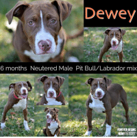 Dewey, Dogs, and Memes: Dewey  6 months Neutered Male Pit Bull/Labrador mix  FOREVER BEGINS  SOCIETY All dogs/puppies in our shelter can be viewed here.  Any dog not being held as a stray is available for immediate, same-day adoption! Adoption applications are reviewed on site. Please share our dogs and help get them out of the shelter as quickly as possible!  **PLEASE NOTE**  Placing an application on a dog featured in this album does NOT hold the dog for you.  All available dogs are available to be met and adopted same day if already altered.  If not altered, the dog can be met and paid for in order to hold the dog for you.  Thank you for your understanding!