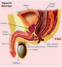 """If there is one argument against intelligent design it has to be putting a straight man's g-spot up his ass""-- Breezy Brie: Diagram for  Male G Spot  Prostate  Urinary  Passage  Penis  Epididymis  Seminal  Bladder  Vesicles  G Spot  Anus -entrance  Duct from Testide to penis to back passage  Testicle ""If there is one argument against intelligent design it has to be putting a straight man's g-spot up his ass""-- Breezy Brie"