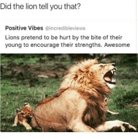 Lion: Did the lion tell you that?  Positive Vibes  @incredibleviews  Lions pretend to be hurt by the bite of their  young to encourage their strengths. Awesome