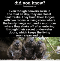 Animals, Family, and Funny: did vou know?  didyouknowblog.com  Even though beavers swim in  the mud all day, they are closet  neat freaks. They build their lodges  with two rooms: a living room where  the family hangs out, and a mudroom  where they shake off after entering  through their secret underwater  doors, which keeps the living  room clean and dry  Photo Credit: KutachenreiterArco/Solen  didvouknowbloa.comm The dirtiest clean freaks you will ever meet 🛁 beavers animals weird funny ➡📱Download our free App: [LINK IN BIO]