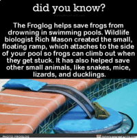 Amazon, Animals, and Apple: did vou know?  The Froglog helps save frogs from  drowning in swimming pools. Wildlife  biologist Rich Mason created the small,  floating ramp, which attaches to the side  of your pool so frogs can climb out when  they get stuck. lt has also helped save  other small animals, like snakes, mice,  lizards, and ducklings.  PHOTQ: FROGLOG  DiDYOLUKNOWFACTS COM Save the froggies 🐸💦 awesome invention frogs savethefrogs 📢 Share the knowledge! Tag your friends in the comments. ➖➖➖➖➖➖➖➖➖➖➖ Want more Did You Know(s)? ➡📓 Buy our book on Amazon: [LINK IN BIO] ➡📱 Download our App: http:-apple.co-2i9iX0u ➡📩 Get daily text message alerts: http:-Fact-Snacks.com ➡📩 Free email newsletter: http:-DidYouKnowFacts.com-Sign-Up- ➖➖➖➖➖➖➖➖➖➖➖ We post different content across our channels. Follow us so you don't miss out! 📍http:-facebook.com-didyouknowblog 📍http:-twitter.com-didyouknowfacts ➖➖➖➖➖➖➖➖➖➖➖ DYN FACTS TRIVIA TIL DIDYOUKNOW NOWIKNOW