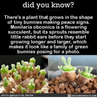 Amazon, Apple, and Bunnies: did vou know?  There's a plant that grows in the shape  of tiny bunnies making peace signs.  Monilaria obconica is a flowering  succulent, but its sprouts resemble  little rabbit ears before they start  growing longer and larger, which  makes it look like a family of green  bunnies posing for a photo.  PHOTO: @CELELYI 1 28·TMITTER  DIDYOUKNOWFACTS.COM GIMMIE 🌵🐰 cute socite bunnies adorbs 📢 Share the knowledge! Tag your friends in the comments. ➖➖➖➖➖➖➖➖➖➖➖ Want more Did You Know(s)? ➡📓 Buy our book on Amazon: [LINK IN BIO] ➡📱 Download our App: http:-apple.co-2i9iX0u ➡📩 Get daily text message alerts: http:-Fact-Snacks.com ➡📩 Free email newsletter: http:-DidYouKnowFacts.com-Sign-Up- ➖➖➖➖➖➖➖➖➖➖➖ We post different content across our channels. Follow us so you don't miss out! 📍http:-facebook.com-didyouknowblog 📍http:-twitter.com-didyouknowfacts ➖➖➖➖➖➖➖➖➖➖➖ DYN FACTS TRIVIA TIL DIDYOUKNOW NOWIKNOW