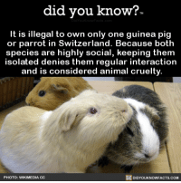 thefreakzone:  did-you-know:It is illegal to own only one guinea pig  or parrot in Switzerland. Because both  species are highly social, keeping them  isolated denies them regular interaction  and is considered animal cruelty.    Source Source 2 Are you fucking kidding me, Hetalia???: did you kno  w?  It is illegal to own only one guinea pig  or parrot in Switzerland. Because both  species are highly social, keeping them  solated denies them regular interaction  and is considered animal cruelty  回DIDYOUKNOWFACTS.COM  PHOTO: WIKIMEDIA CC thefreakzone:  did-you-know:It is illegal to own only one guinea pig  or parrot in Switzerland. Because both  species are highly social, keeping them  isolated denies them regular interaction  and is considered animal cruelty.    Source Source 2 Are you fucking kidding me, Hetalia???