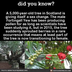 Alive, Anaconda, and Grandma: did you know?  A 5,000-year-old tree in Scotland is  giving itself a sex change. The male  Fortingall Yew has been producing  pollen for as long as scientists have  been studying it, but in 2015, the tree  suddenly sprouted berries in a rare  occurrence that means at least part of  the tree is now transitioning to female.  PHOTO: BERNTROSTADIRBGE ORG  DIDYOUKNOWBLOG.COM patrickat:  thefingerfuckingfemalefury:  thepunksink:  did-you-kno: A 5,000-year-old tree in Scotland is  giving itself a sex change. The male  Fortingall Yew has been producing  pollen for as long as scientists have  been studying it, but in 2015, the tree  suddenly sprouted berries in a rare  occurrence that means at least part of  the tree is now transitioning to female.  Source Source 2 Source 3 I support trans grandma tree   Bigots: transgender people are unnatural! Trans Tree: what u just say  TIL this tree has been alive long enough to see over 100 generations of bigots die mad about it.