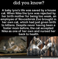 Besties for the resties 💞 cool animals cats love ➡📱Download our free App: [LINK IN BIO]: did you know?  A baby lynx's life was saved by a house  cat. When Nika the lynx was rejected by  her birth mother for being too weak, an  employee of Novosibirsk Zoo brought in  her own cat, which had just given birth  to kittens. Despite never having been a  foster mom before, the cat accepted  Nika as one of her own and nursed her  back to health  PHOTO: A LUKIN  DIDYOUKNOWFACTS.COM Besties for the resties 💞 cool animals cats love ➡📱Download our free App: [LINK IN BIO]