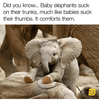 This one's a keeper!: Did you know... Baby elephants suck  on their trunks, much like babies suchk  their thumbs. It comforts them This one's a keeper!