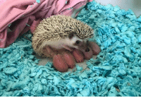 9gag, Memes, and Twitter: Did you know baby hedgehogs are called hoglets? They look like little rambutans 💘 Follow @9gag - - 📷 painthands   Twitter - - hedgehog hoglet