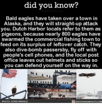 "America, Philadelphia Eagles, and Memes: did you know?  Bald eagles have taken over  a town in  Alaska, and they will straight-up attack  you. Dutch Harbor locals refer to them as  pigeons, because nearly 800 eagles have  swarmed the commercial fishing town to  feed on its surplus of leftover catch. They  also dive-bomb passersby, fly off with  people's cell phones, and the local post  office leaves out helmets and sticks so  you can defend yourself on the way in  REA  K DIDYOUKNOWFACTS.COM  PHOTO: COREY ARNOLD ""Take no prisoners!"" - Bald Eagles 🦅 badass baldeagle america alaska ➡📱Download our free App: [LINK IN BIO]"